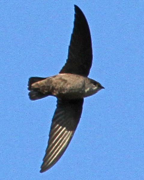 Vaux's Swift
