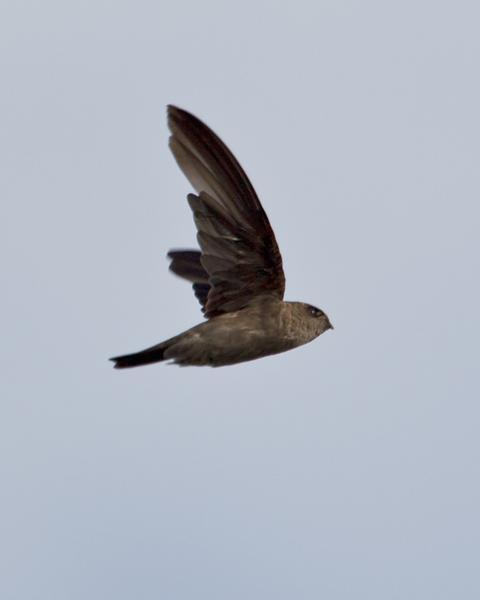 White-nest Swiftlet