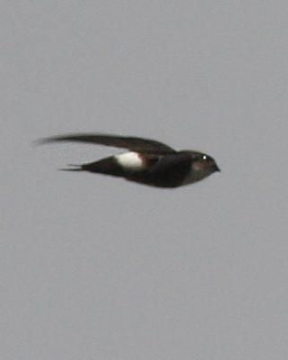 Antillean Palm-Swift