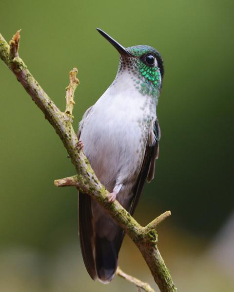 White-bellied Mountain-gem