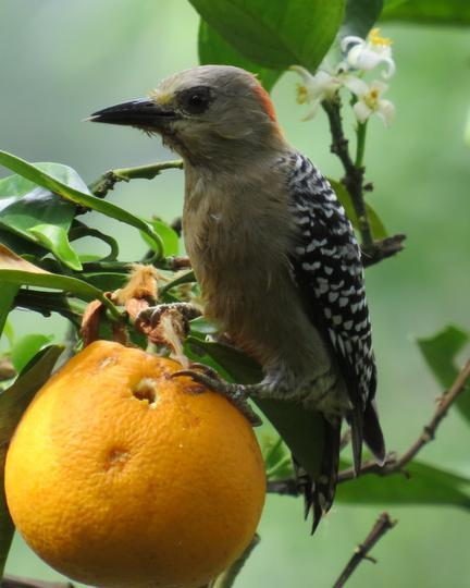 Red-crowned Woodpecker
