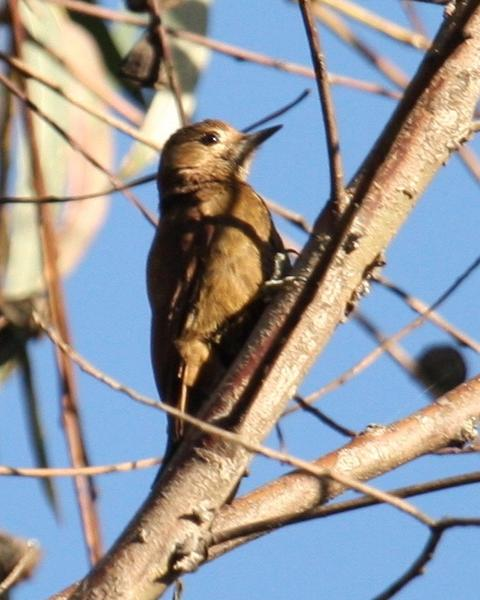 Smoky-brown Woodpecker