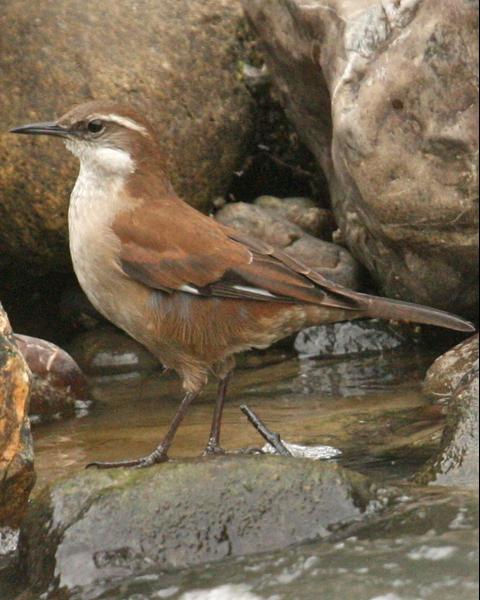 White-winged Cinclodes