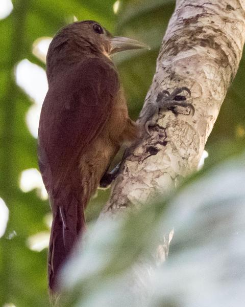 Plain-brown Woodcreeper