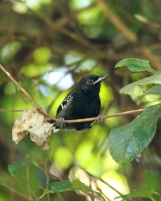 Dot-winged Antwren