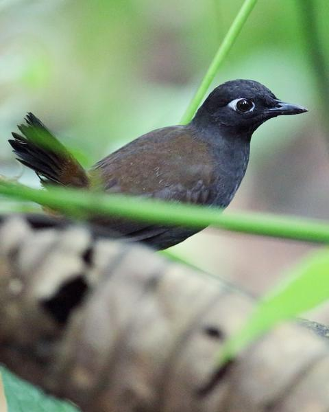 Black-headed Antthrush