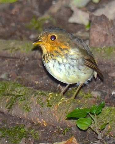Ochre-breasted Antpitta