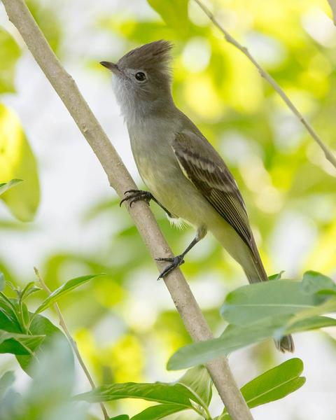 Yellow-bellied Elaenia