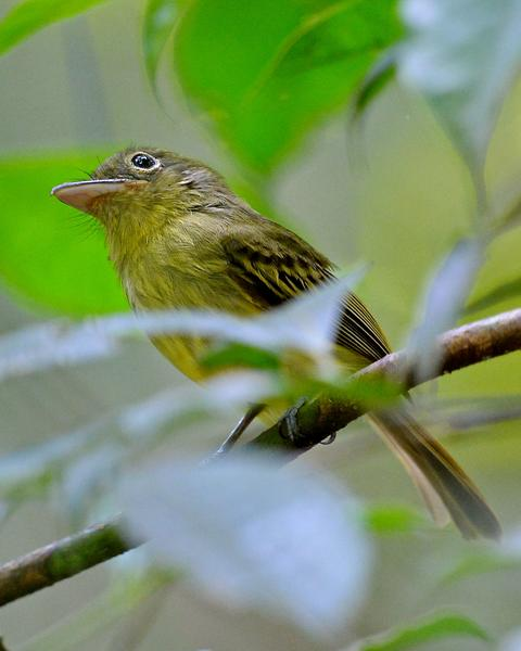Eye-ringed Flatbill