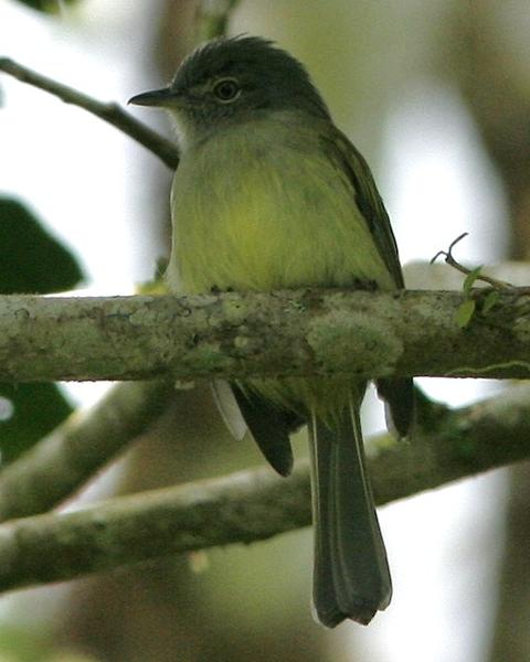 Yellow-olive Flycatcher