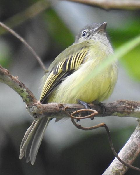 Yellow-margined Flycatcher