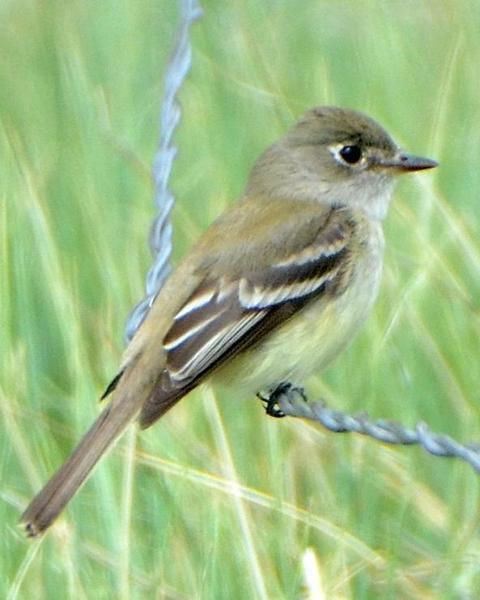 Least Flycatcher