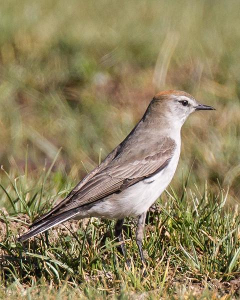 White-browed Ground-Tyrant