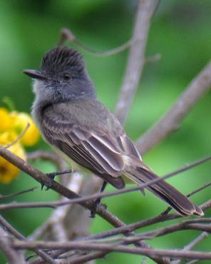 Sooty-crowned Flycatcher