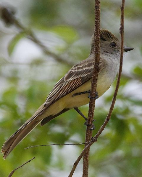 Nutting's Flycatcher