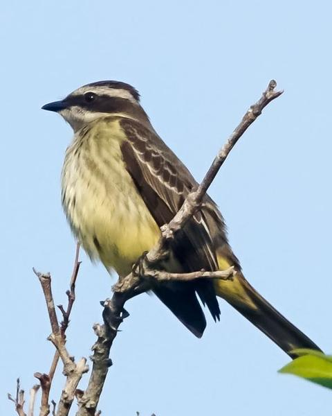 Piratic Flycatcher