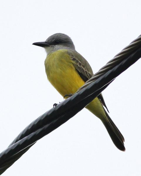 Couch's Kingbird