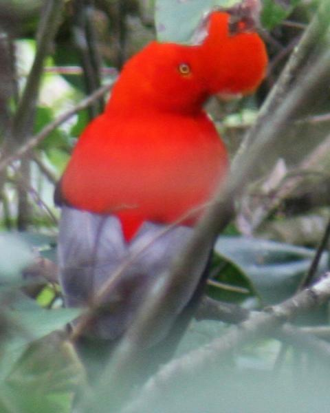 Andean Cock-of-the-rock
