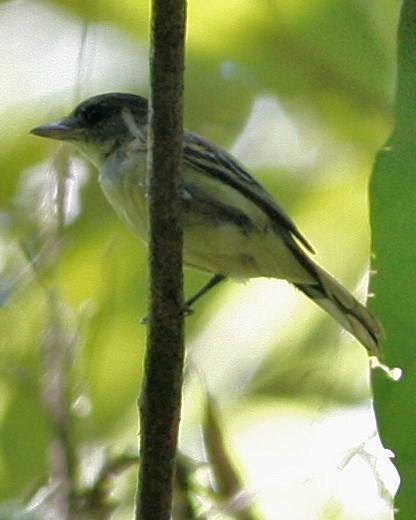White-winged Becard