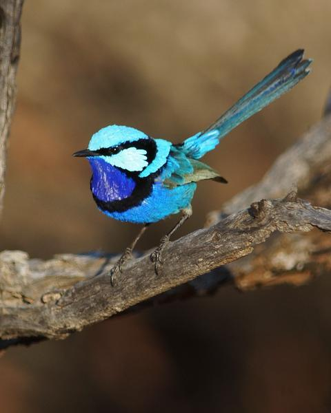 Splendid Fairywren