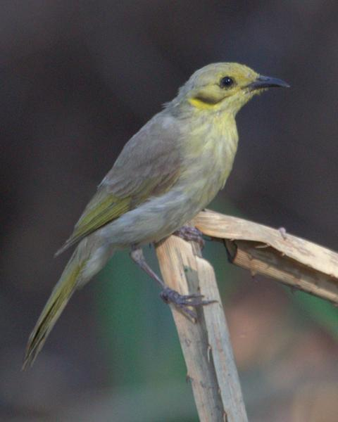 Yellow-tinted Honeyeater