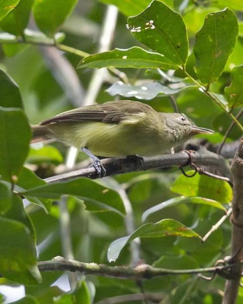Green-backed Honeyeater