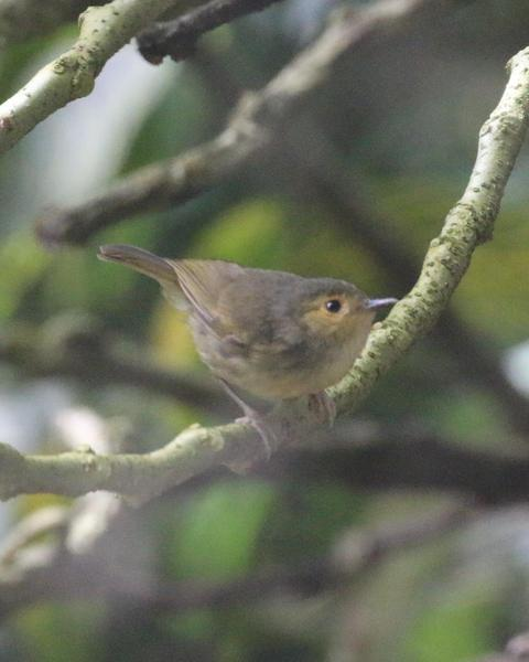 Buff-faced Scrubwren