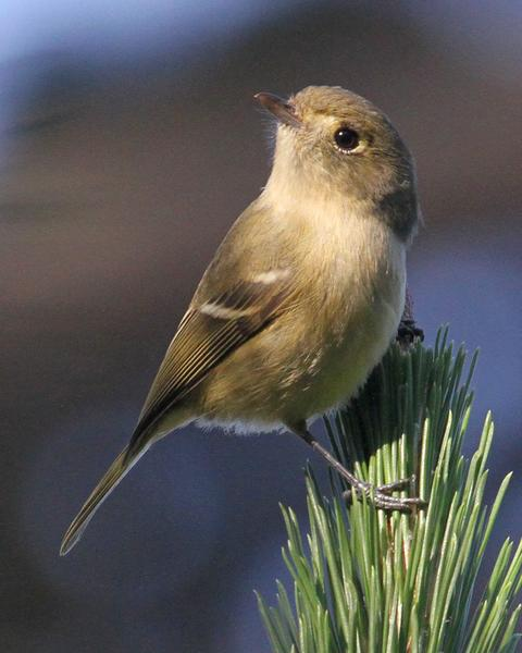 Hutton's Vireo (Pacific)