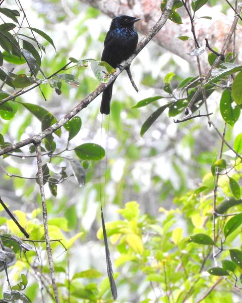Lesser Racket-tailed Drongo