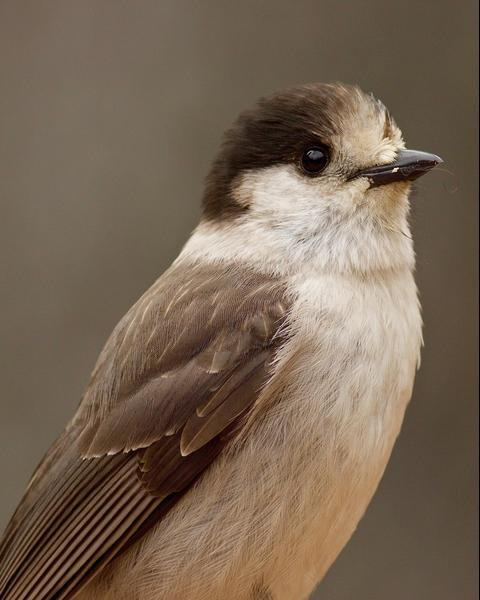 Gray Jay (Pacific)