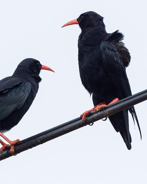 Red-billed Chough