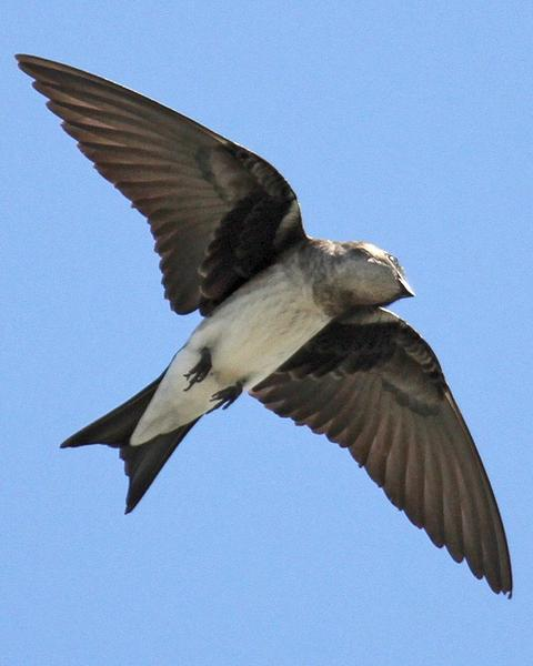 Gray-breasted Martin