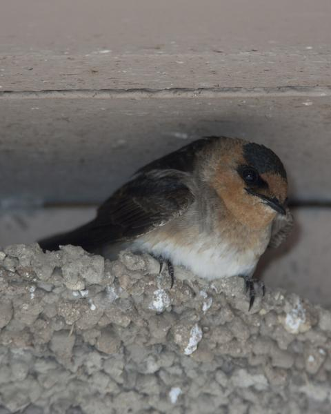 Cave Swallow