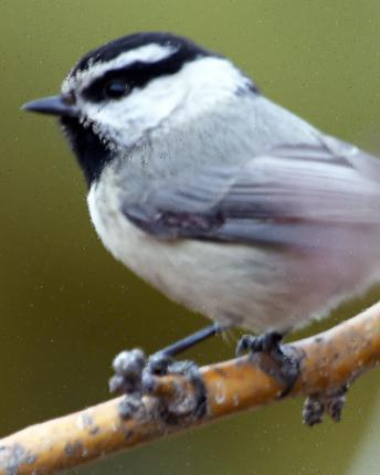 Mountain Chickadee (Rocky Mts.)