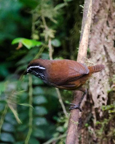 Gray-breasted Wood-Wren