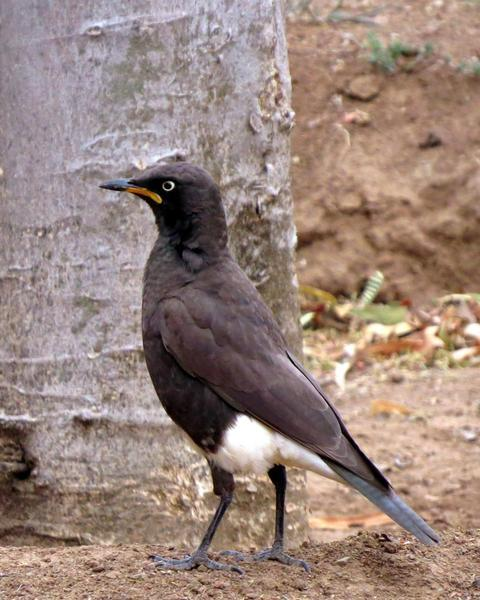 African Pied Starling