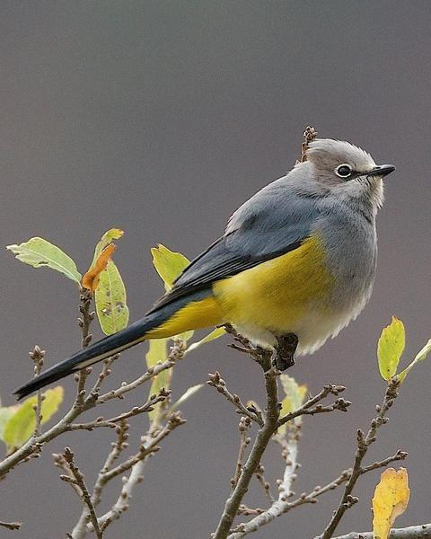 Gray Silky-flycatcher