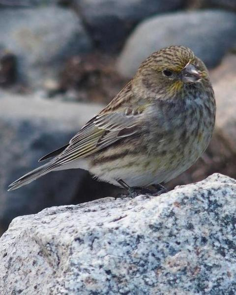 Yellow-bridled Finch