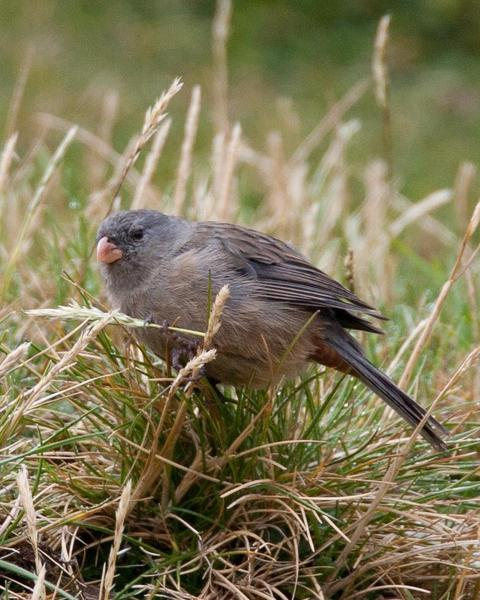 Plain-colored Seedeater