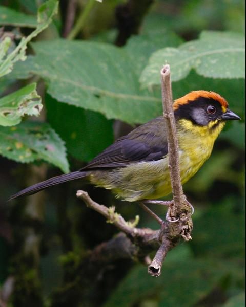 Bolivian Brushfinch