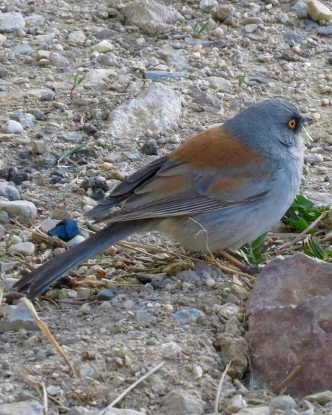 Yellow-eyed Junco (Mexican)