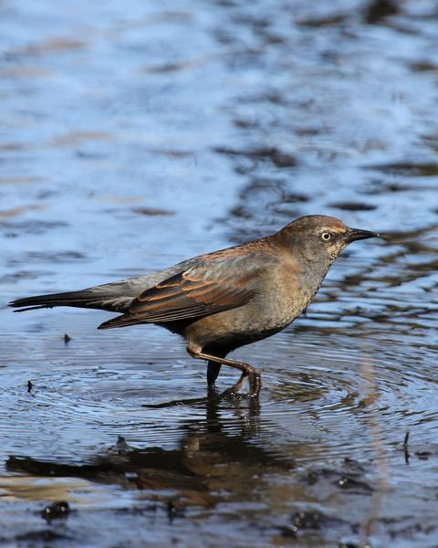 Rusty Blackbird