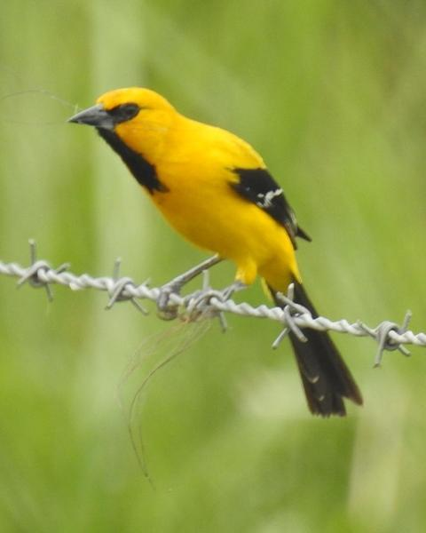 Yellow Oriole