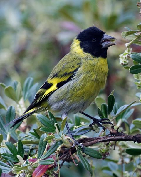 Thick-billed Siskin