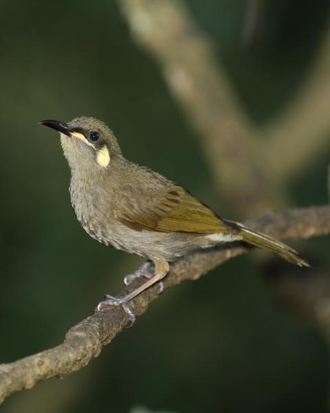 Graceful Honeyeater