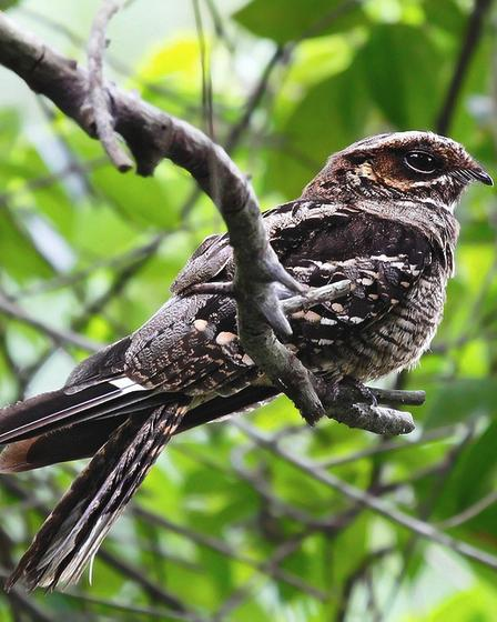 Gray Nightjar