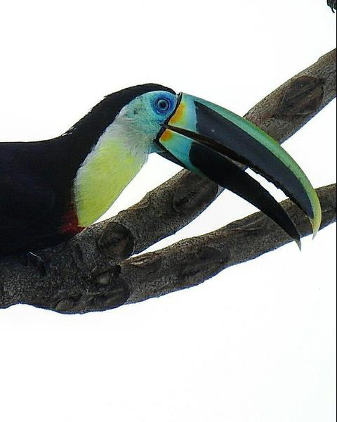 Channel-billed Toucan (Citron-throated)