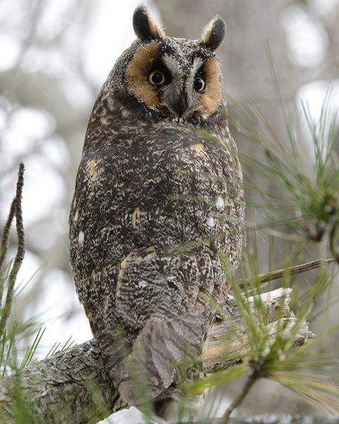 Long-eared Owl (American)