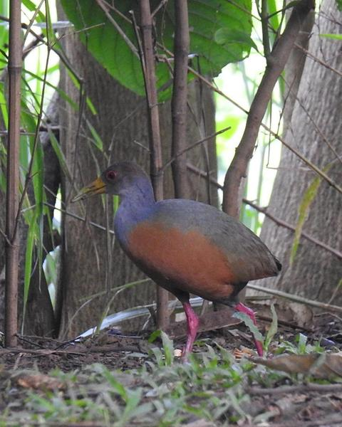 Gray-cowled Wood-Rail