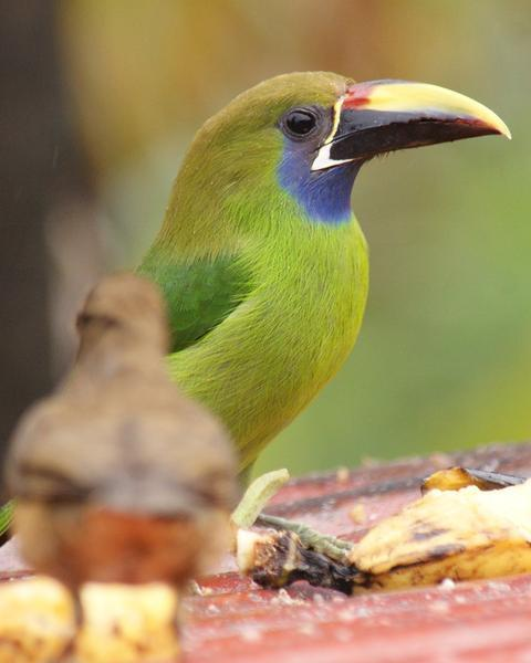 Northern Emerald-Toucanet